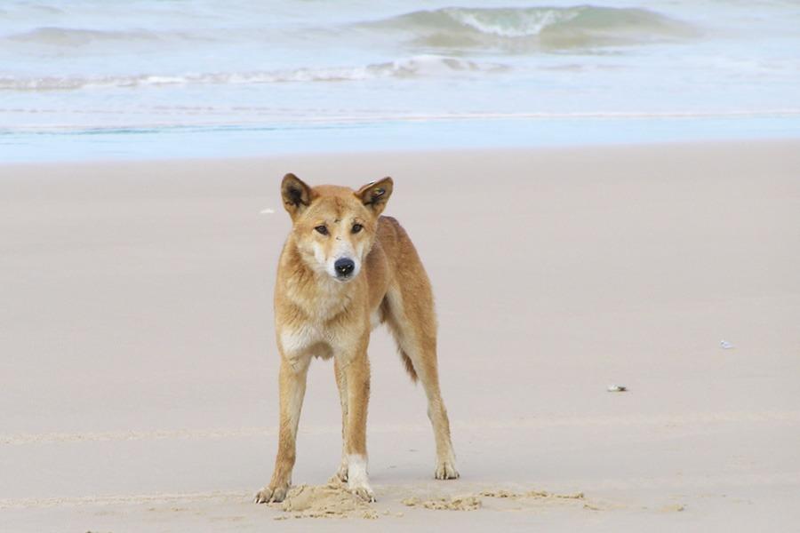dingo-beach-australia