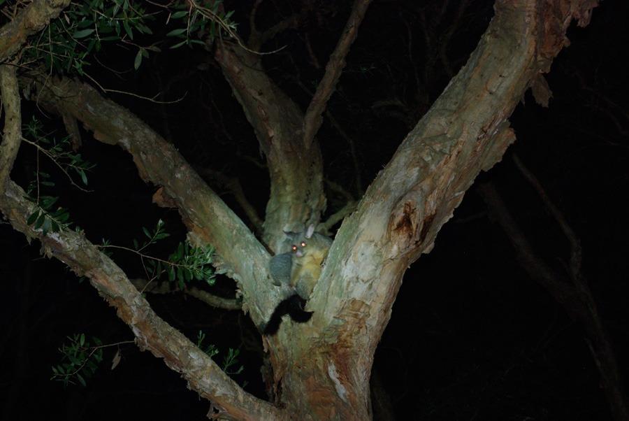 possum-australia