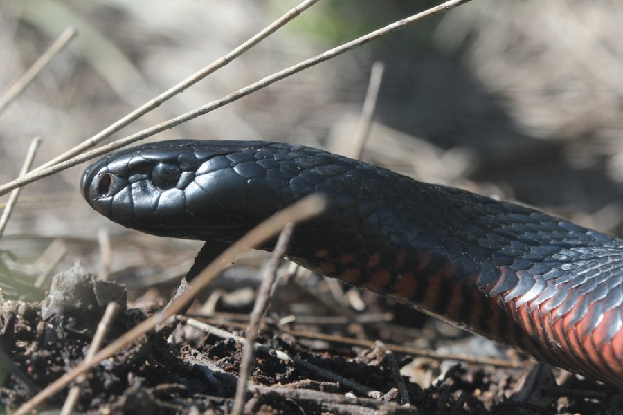 red-bellied-black-snake