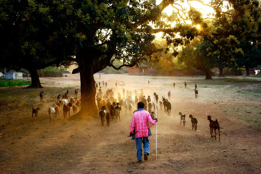 indian-man-goats-central-india
