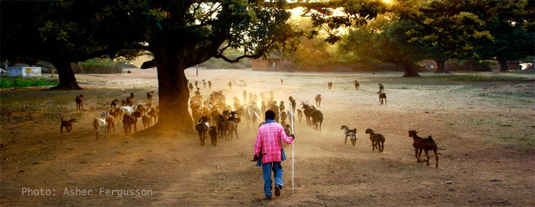 indian-man-with-goats