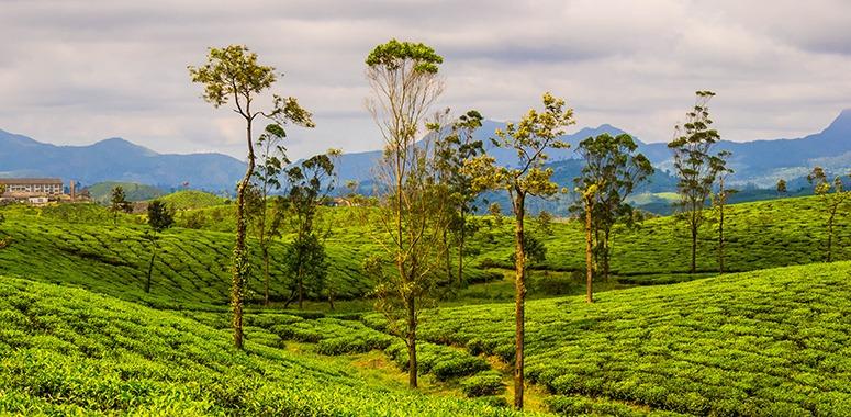 indian-tea-plantations