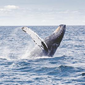 New-Zealand-Humpback-Whale