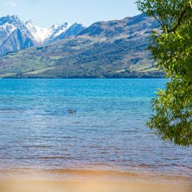 New-Zealand-Swan