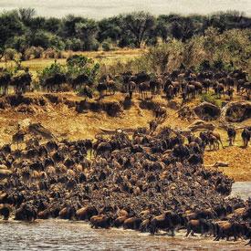 Wildebeest-migration-tanzania