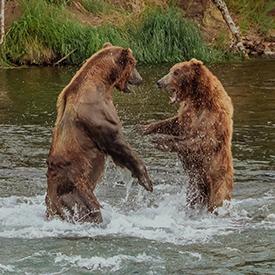 bears playing in alaskan river