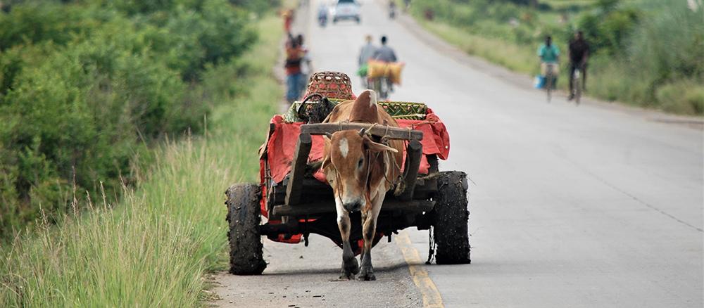 bullock pulling a cart in tanzania africa