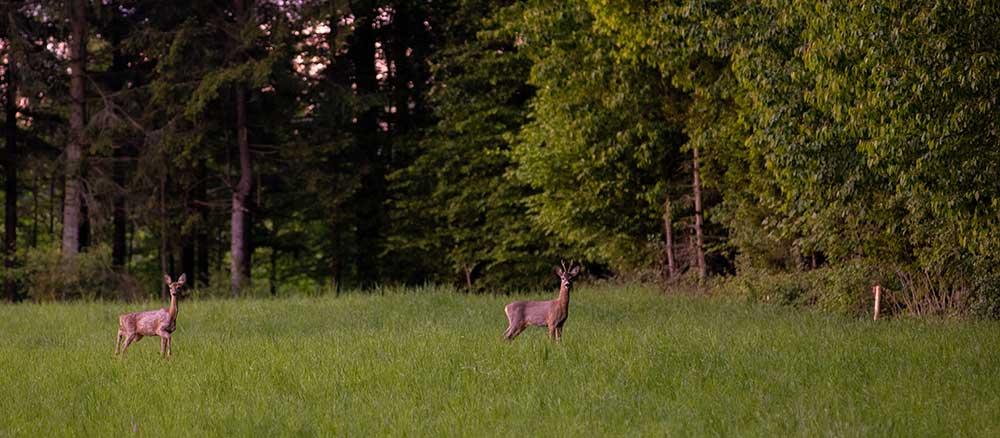 Deer panorama
