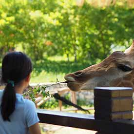Girl feeding giraffe in zoo
